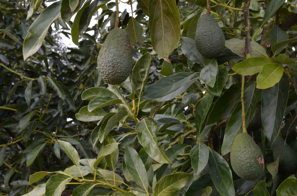 Heritage Avocados: There's No Better Place Than Ventura