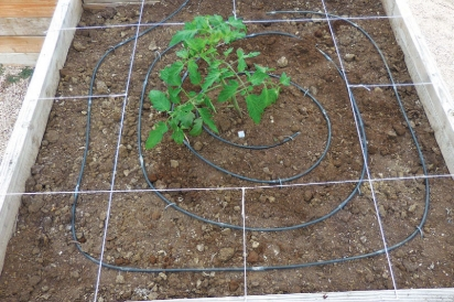 tomatoe-plants-square-foot-garden