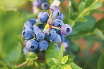 Blueberries at Apricot Lane Farms
