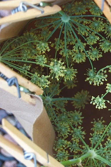 Capturing fennel pollen with the help of a paper bag and some clothespins